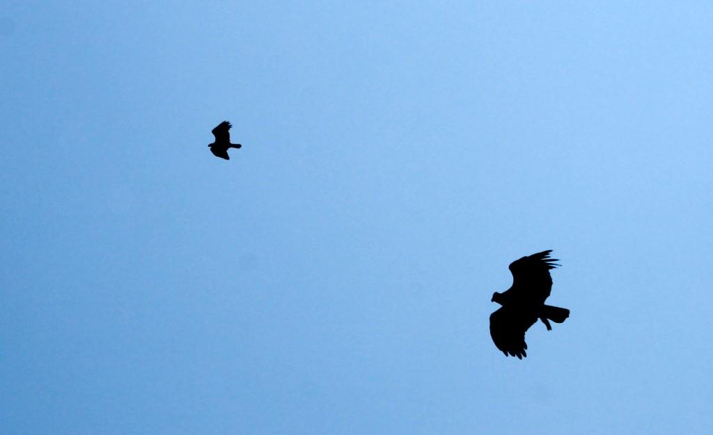 En la foto, una madre enseña a volar a su cría.