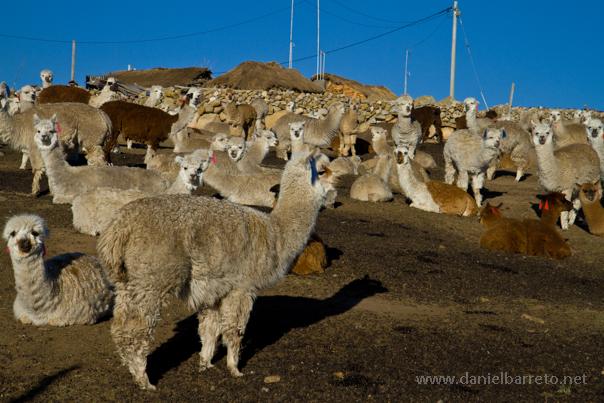 7242_road_to_pampachiri_llamas