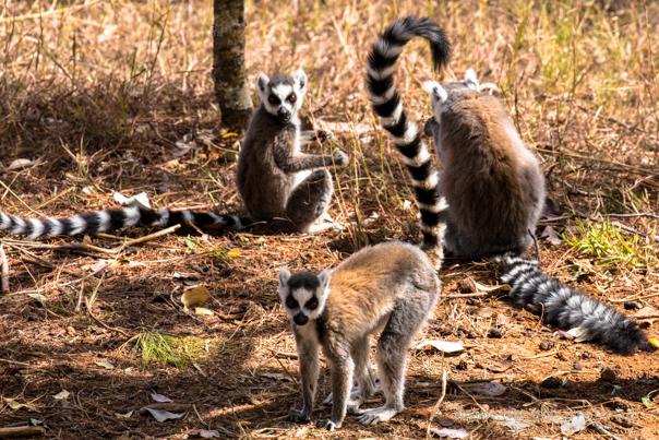 5005_Lemur