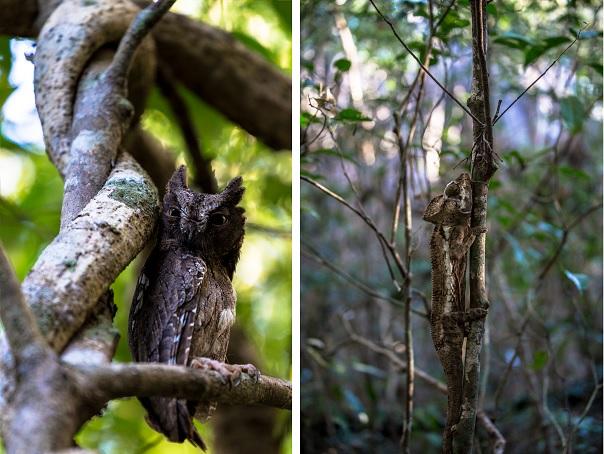Tsingy_Owl_Chamaleon