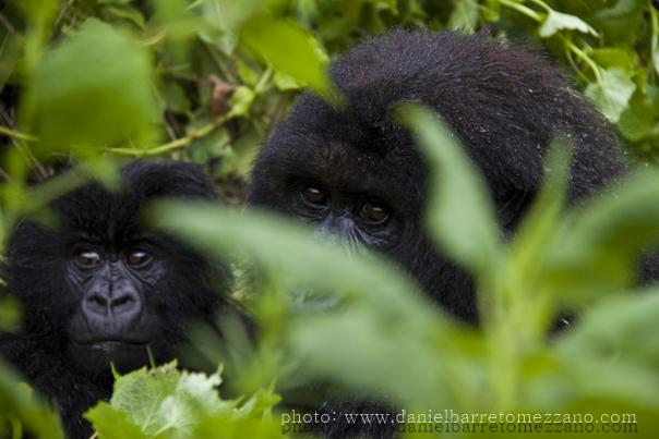 0476_gorillas