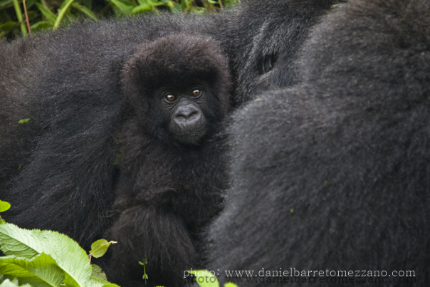 0549_gorillas