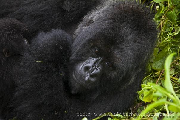 0560_gorillas