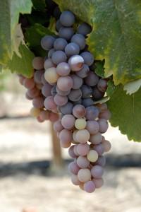 Racimo de uva Quebranta