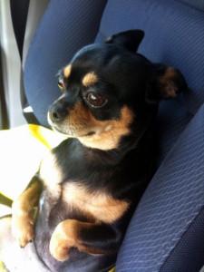 Cuidados que debes tener para viajar con tu mascota en Fiestas Patrias