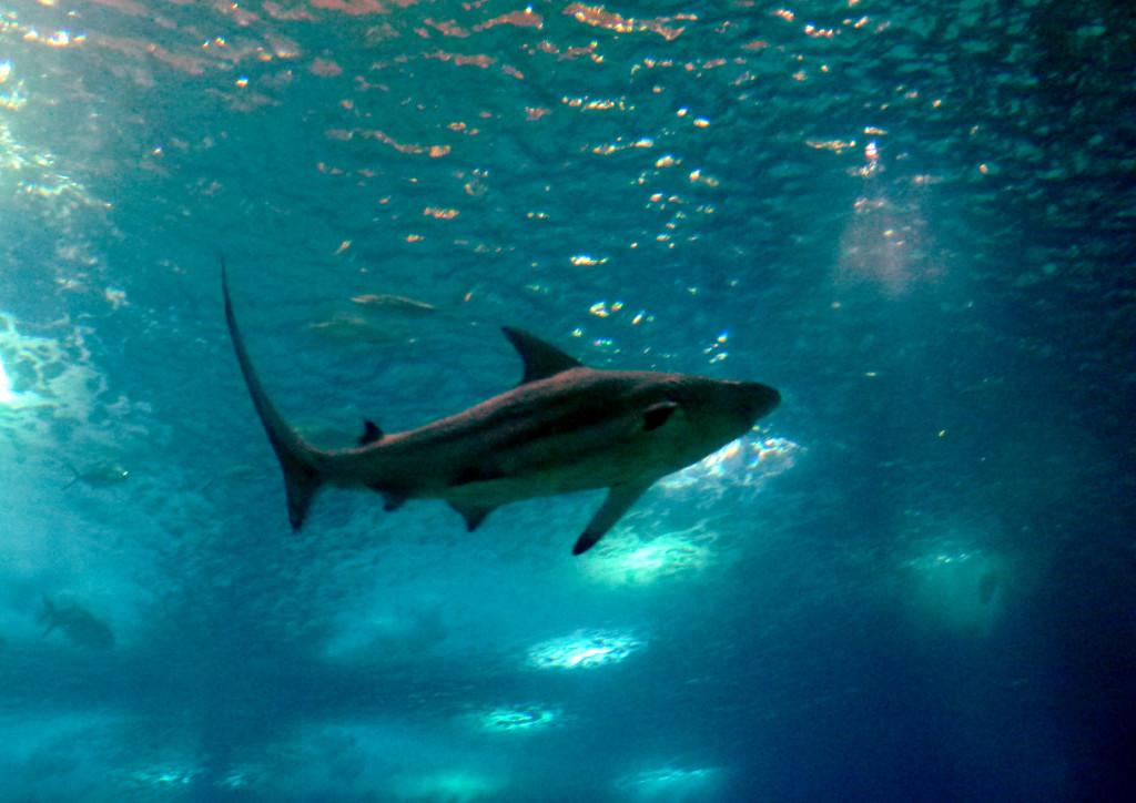 Se calcula que cada año se matan a más de 100 millones de distintas especies de tiburón para sacarles las aletas y los cartílagos. Esto, debido a la falsa creencia de que los tiburones nunca desarrollarán ningún tipo de cáncer.