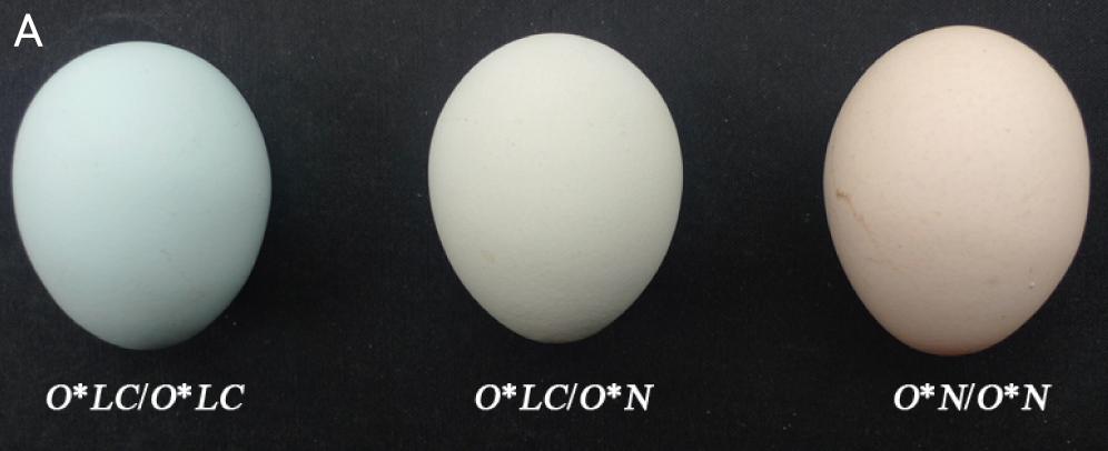 Huevos azulados, blancos y morenos. Fuente: Wang et al. (2013).