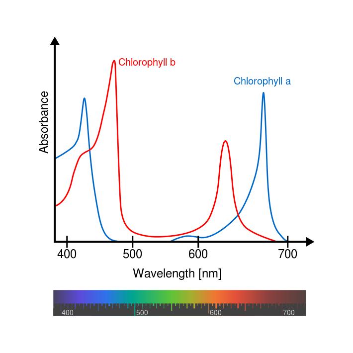 Los picos indican la longitud de onda de la luz que absorben la clorofila A y B. El verde no se absorbe y es ese el color que vemos en las plantas. Fuente: Wikimedia Commons