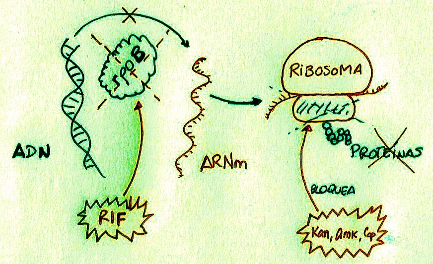 antibioticos_RIF
