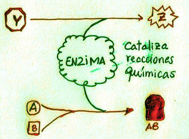 Las enzimas catolizan reacciones químicas en los seres vivos. Pueden transformar un compuesto Y en uno Z, fusionar dos moléculas (A y B) para formar una sola. Pueden degradar moléculas en componentes más sencillos, etc.