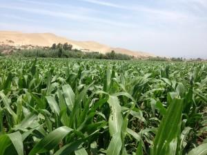 ¿Cómo le fue a los cultivos transgénicos en 2016?