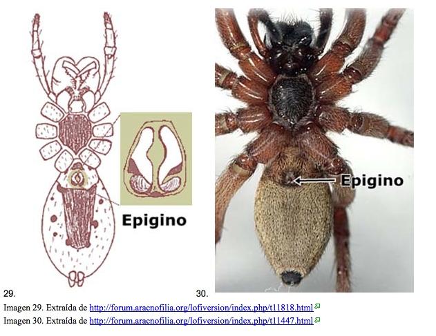 Vista amplificada del epígino de las arañas. Fuente: Zoowiki.