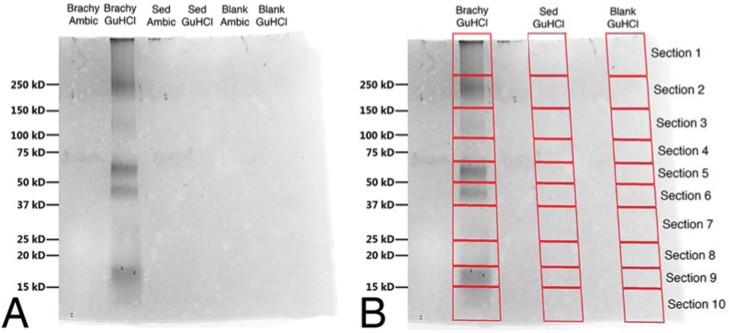 Extracción de las proteínas del hadrosaurio (bandas grises). Se puede notar que en las filas de los controles, no hay presencia de bandas (no hay contaminantes protéicos). Fuente: