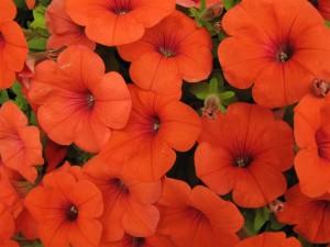 El curioso caso de las petunias naranjas