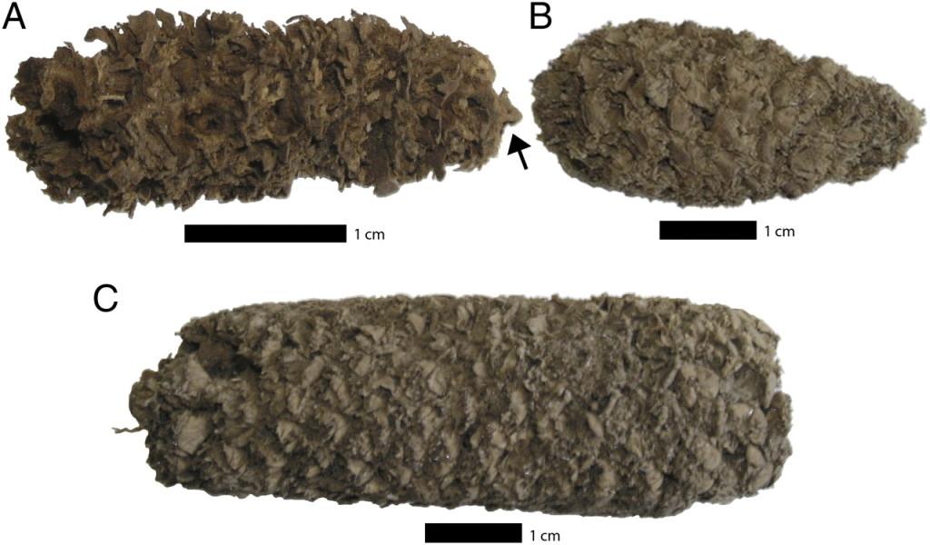 Macrofósiles de maíz hallados en el complejo arqueológico de Paredones y Huaca Prieta. Fuente: