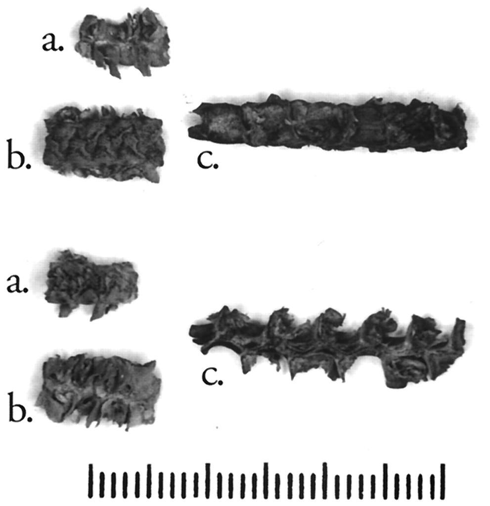 Macrofósiles de maíz de la cueva de