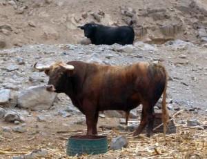 El ganado que se lidie será la clave de la Feria del Señor de los Milagros