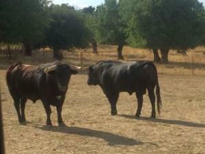 Los toros para Acho ya llegaron a Lima (con videos de los toros)
