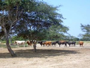 El toro de  lidia, animal único que se extinguiría
