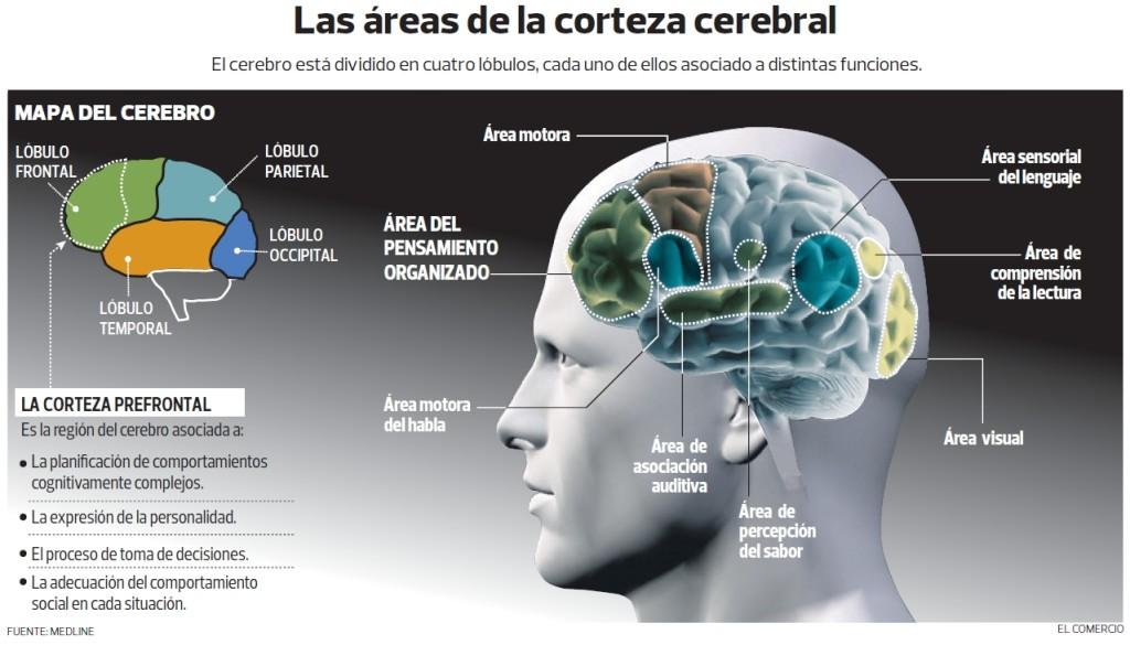 Infografía Áreas de la Corteza Cerebral