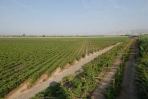 Viñedos de uva quebranta en Ica.