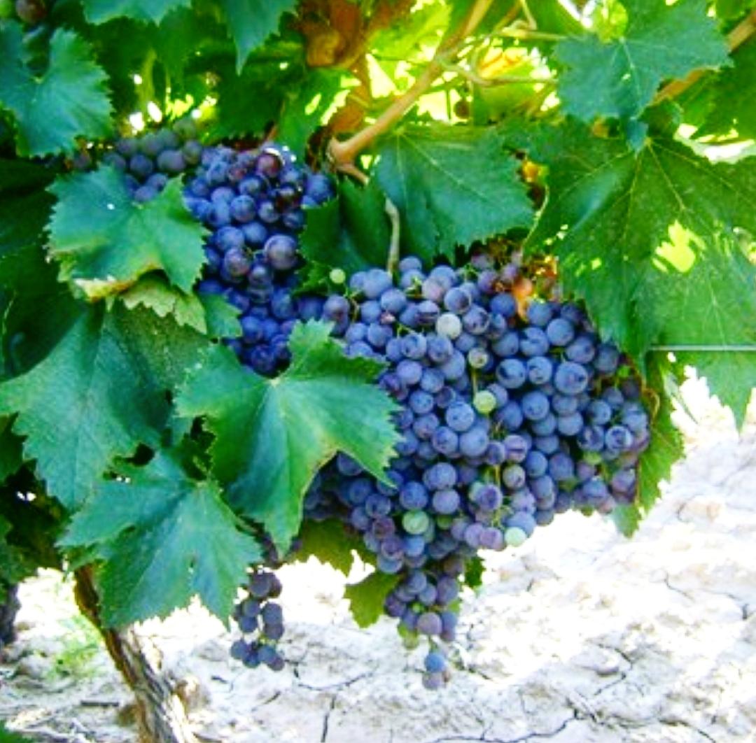 El regreso con gloria de la uva Criolla