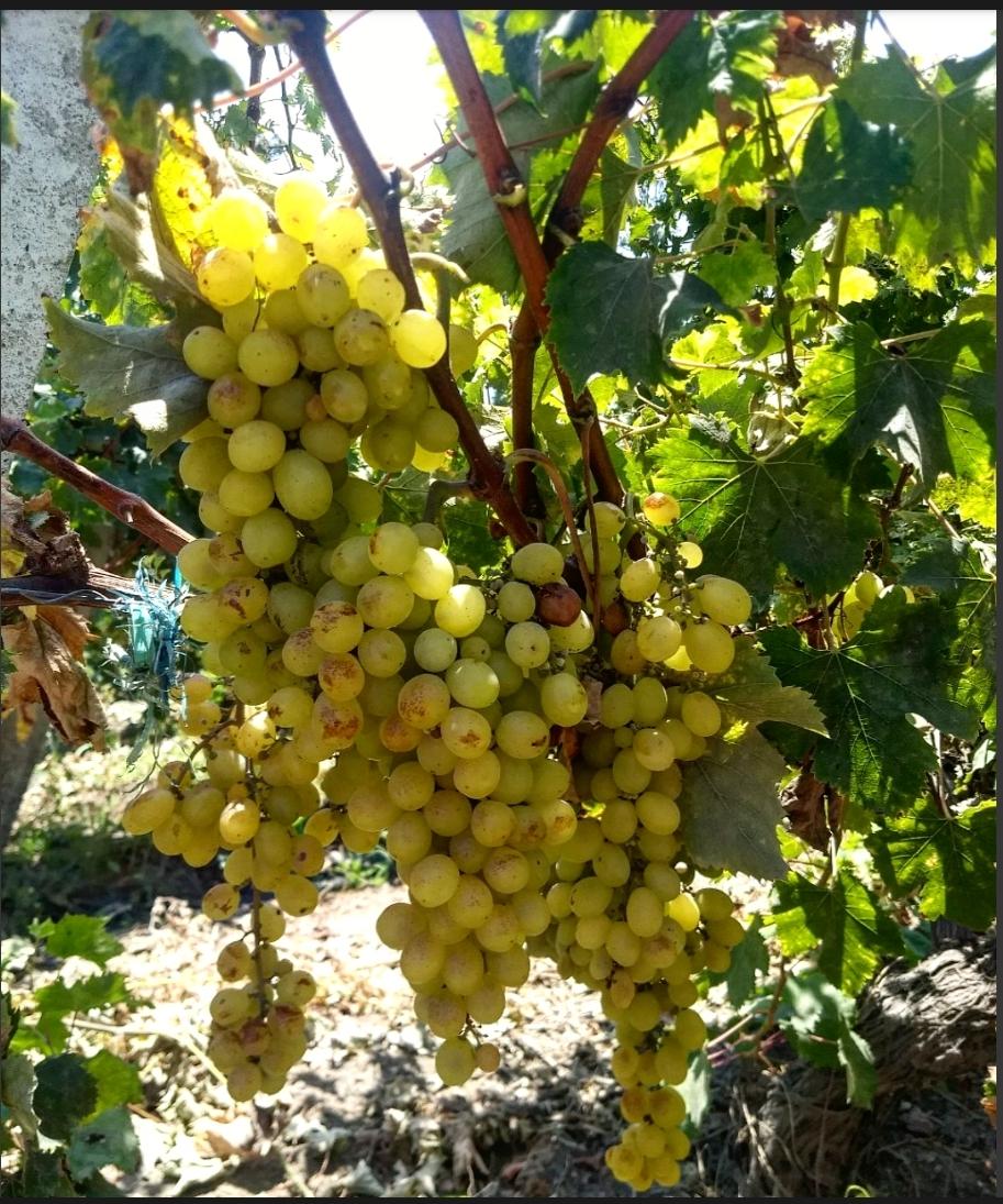 La elegancia de la uva Moscatel de Alejandría