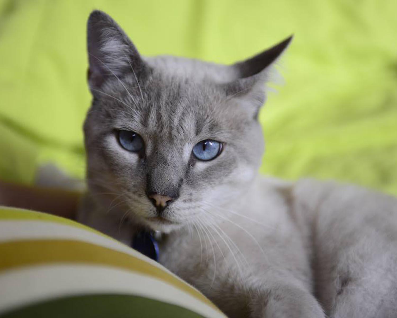 gato, arañazo de gato, garras
