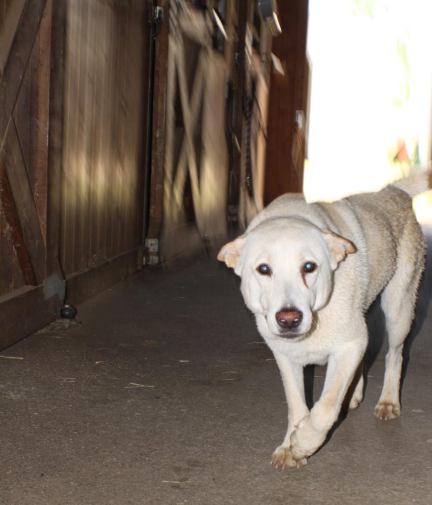 Hay perros de diferentes razas y con distintos tipos de habilidades: cazadores, de compañía, guías para personas discapacitadas, detectores de explosivos o drogas, entre otras capacidades que aprenden para ser de mucha ayuda para los humanos.