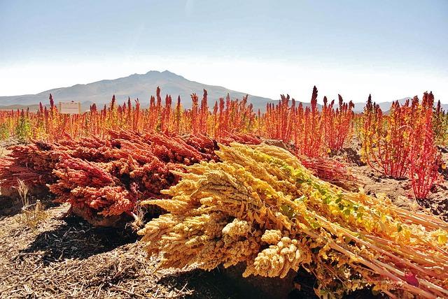 cultivos de quinua
