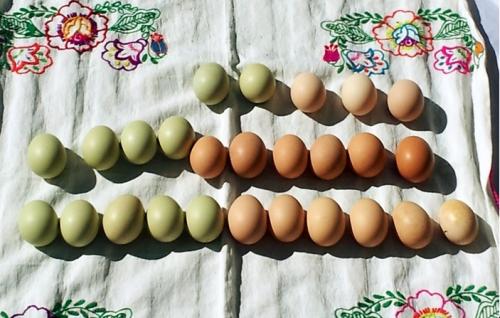 ¿Por qué hay gallinas que ponen huevos de color verde o azules? Entérate cómo pigmentos que normalmente están presentes en la bilis llegan al útero de las gallinas y pintan los huevos de estos extraños colores.
