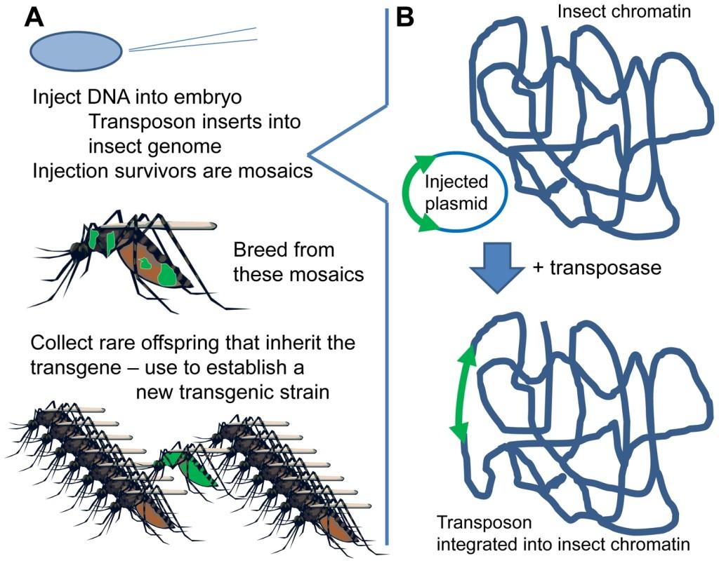Creando un mosquito transgénico. Fuente: Alphey , L & Alphey, N. (2014)