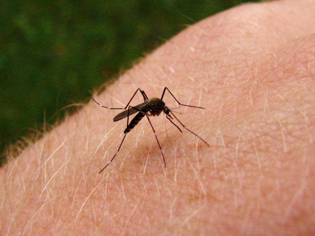 Hace unos días, la Comisión Técnica Nacional de Bioseguridad de Brasil (CTNBio) dio luz verde al uso comercial de mosquitos transgénicos para controlar la incidencia del dengue, una enfermedad para la cual no existe vacuna y que la única cura es el tratamiento de los síntomas hasta que el ciclo infeccioso termine. Hoy hablaremos sobre cinco cosas que debes saber acerca de los mosquitos transgénicos.