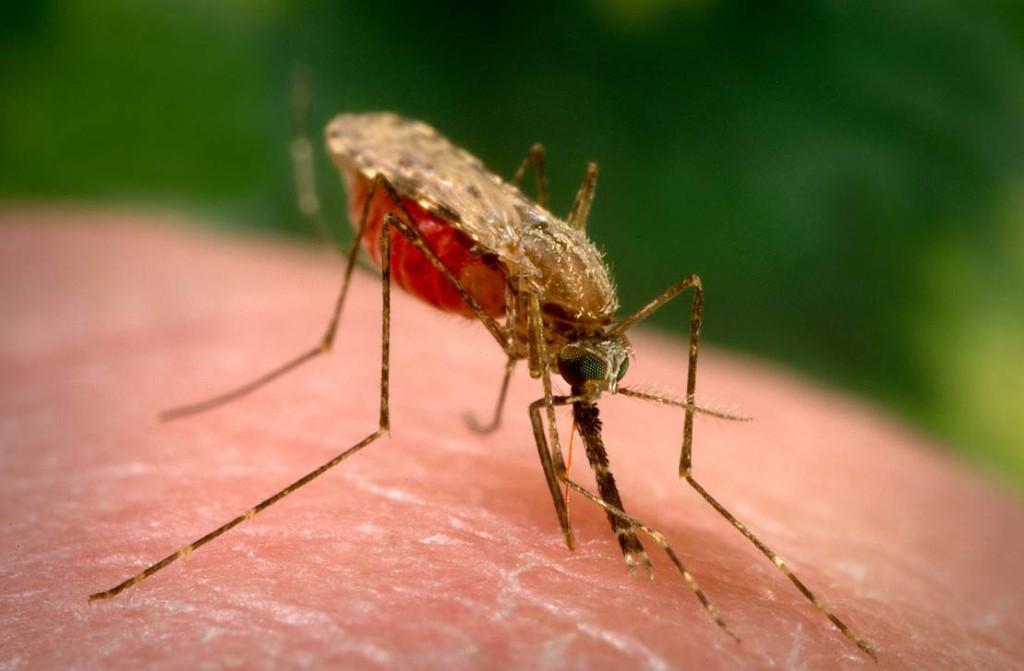 La ingeniería genética aporta nuevas estrategias para el control de enfermedades transmitidas por mosquitos. Algunas se están probando en pequeñas comunidades y muestran resultados alentadores, pero también presentan desventajas.