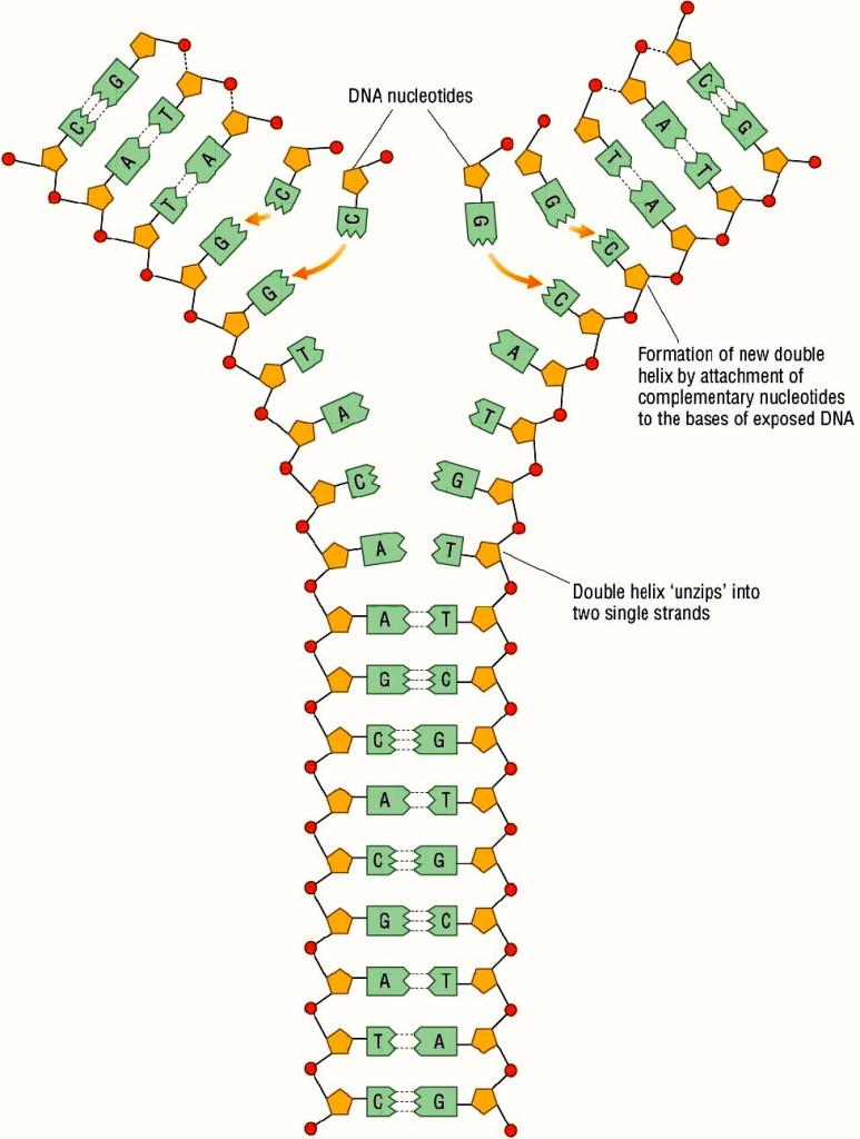 Replicación de ADN en función a la complementariedad de las bases. Fuente: