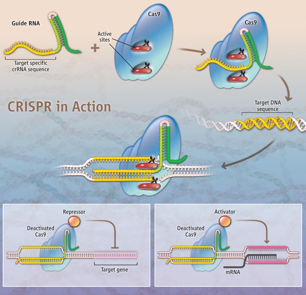 Sistema CRISPR/Cas9 Fuente: E. Pennisi, Science, 341:833-6, 2013. Credito: K. Sutliff/Science