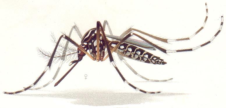 ¿Se salió de control el experimento con mosquitos transgénicos en Brasil?