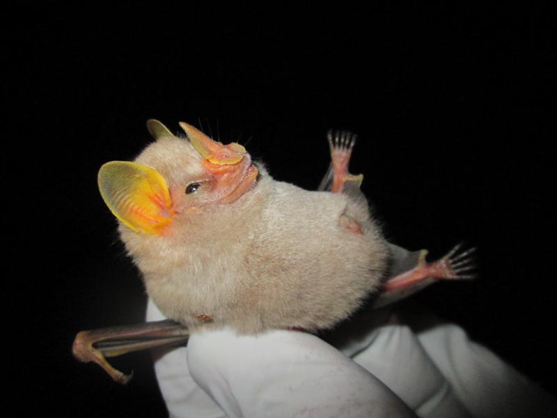 Los murciélagos no tienen la culpa