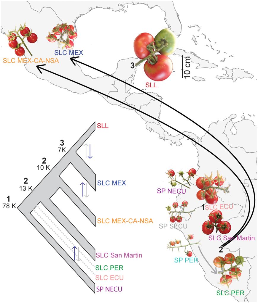 Reconstrucción de la historia evolutiva del tomate. Fuente: