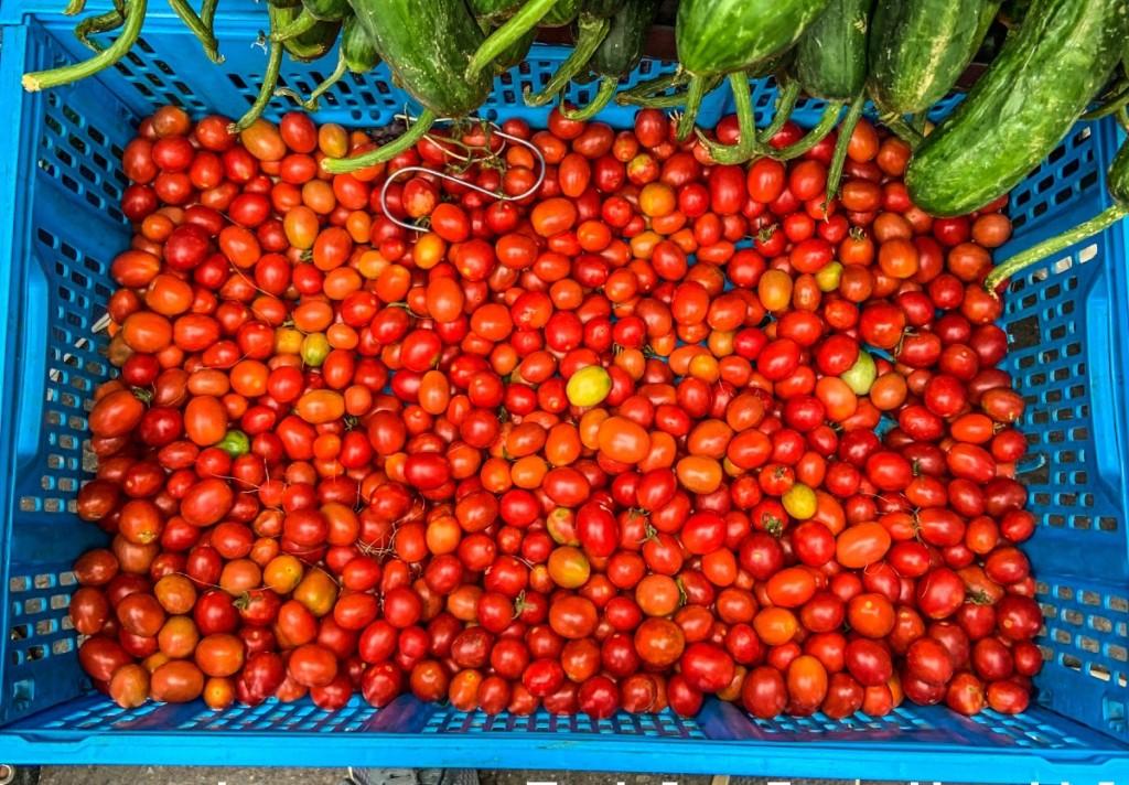Tomates nativos en la Bioferia de Magdalena.