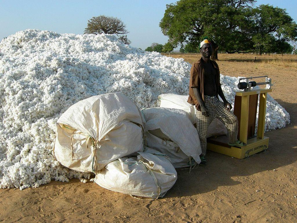 ¿Por qué se dejó de sembrar algodón transgénico en Burkina Faso?