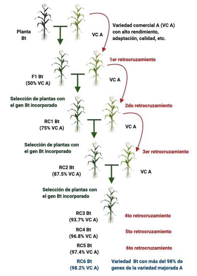 Proceso de retrocruzamiento para incorporar un rasgo (el gen Bt) en una variedad comercial.