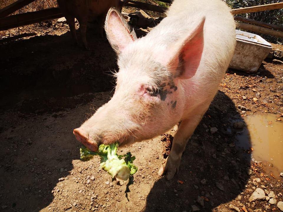 La Unión Vegetariana del Perú busca reunir donaciones para gastos veterinarios y de alimentación de cerditos rescatados