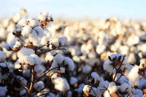 Los problemas de Monsanto (o de ¿Bayer?) en India
